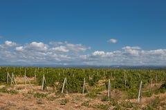 Wijngaard in de Krim Royalty-vrije Stock Afbeeldingen