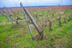 Wijngaard in de Lente royalty-vrije stock fotografie