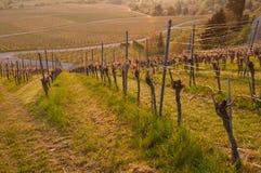 Wijngaard in de lente Royalty-vrije Stock Foto's
