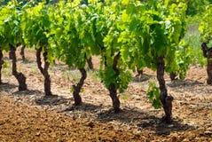 Wijngaard in de lente Stock Fotografie