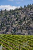 Wijngaard in de Lente: Rijen van Druiven in een bergvallei Royalty-vrije Stock Afbeeldingen
