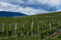 Wijngaard in de Lente: Rijen van Druiven onder een bewolkte hemel Royalty-vrije Stock Foto's