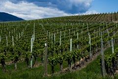 Wijngaard in de Lente: Rijen van Druiven onder een bewolkte hemel Royalty-vrije Stock Fotografie