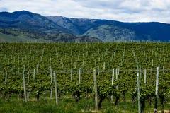 Wijngaard in de Lente: Rijen van Druiven onder een bewolkte hemel Royalty-vrije Stock Foto