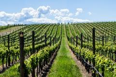 Wijngaard in de Lente: Rijen van Druiven onder een blauwe hemel Stock Afbeeldingen