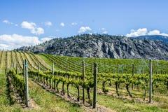 Wijngaard in de Lente: Rijen van Druiven onder een blauwe hemel Royalty-vrije Stock Afbeelding