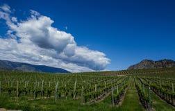 Wijngaard in de Lente: Rijen van Druiven onder een blauwe hemel Royalty-vrije Stock Foto