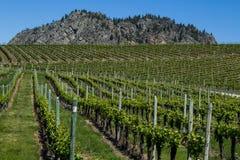 Wijngaard in de Lente: Rijen van Druiven onder een blauwe hemel Royalty-vrije Stock Afbeeldingen