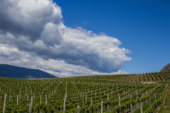 Wijngaard in de Lente: Rijen van Druiven onder een blauwe hemel Stock Fotografie