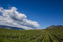 Wijngaard in de Lente: Rijen van Druiven onder een blauwe hemel Stock Foto's