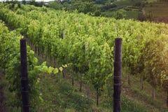 Wijngaard in de ochtend, wijnstokken in rij Stock Afbeeldingen