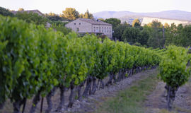Wijngaard in de Provence royalty-vrije stock fotografie