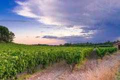 Wijngaard in de Provence Stock Fotografie