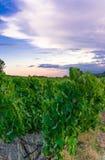 Wijngaard in de Provence Stock Foto's