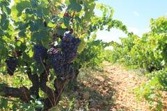 Wijngaard in de Provence Royalty-vrije Stock Foto