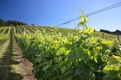 Wijngaard in de Tijd van de Zomer Stock Afbeeldingen