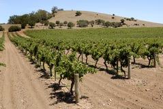 Wijngaard in de Vallei Barossa Stock Foto