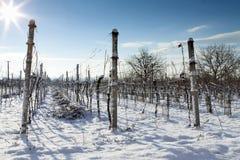Wijngaard in de winter Stock Fotografie