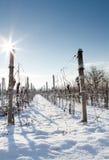 Wijngaard in de winter Stock Afbeeldingen