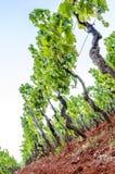 Wijngaard in de zomer Stock Afbeelding