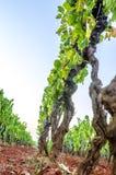 Wijngaard in de zomer Stock Foto's