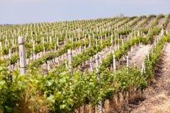 Wijngaard in de zomer Stock Fotografie