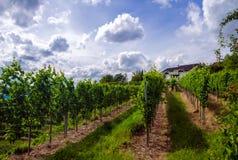 Wijngaard in de zomer van Stuttgart Stock Foto