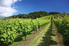 Wijngaard in de zomertijd, Auckland, Nieuw Zeeland Royalty-vrije Stock Fotografie