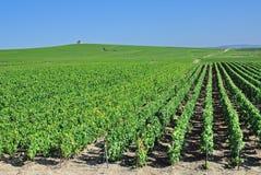 Wijngaard dichtbij Epernay, Champagne-gebied, Frankrijk Stock Foto's