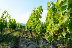 Wijngaard dichtbij het gebied Hongarije van Hercegkut Sarospatak Tokaj Stock Foto