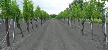 Wijngaard dichtbij Meer Neusiedl royalty-vrije stock afbeeldingen