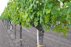 Wijngaard dichtbij Meer Neusiedl royalty-vrije stock foto's