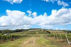 Wijngaard dichtbij Punta Del Este, een deel wordt gevestigd van de Wijnweg van Uruguay dat Stock Fotografie
