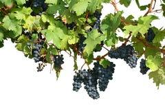 Wijngaard die op wit wordt geïsoleerdt stock afbeelding