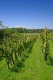 Wijngaard door het bos Royalty-vrije Stock Afbeelding