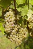 Wijngaard - Druiven Royalty-vrije Stock Afbeeldingen