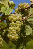Wijngaard - Druiven en wijnstokbladeren Stock Foto's