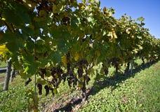 Wijngaard, druivenoogst. Royalty-vrije Stock Afbeelding