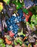 Wijngaard, druivenoogst in Asti, Piemonte, Italië. Royalty-vrije Stock Afbeelding