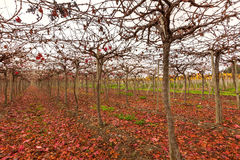 Wijngaard in Elqui-Vallei Royalty-vrije Stock Foto's