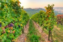 Wijngaard en wijnstokken Royalty-vrije Stock Afbeelding