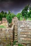 Wijngaard en wijnstokken in de vroege zomer, koninklijke wijngaard royalty-vrije stock foto's