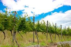 Wijngaard en wijnstokken in de vroege zomer, koninklijke wijngaard royalty-vrije stock fotografie