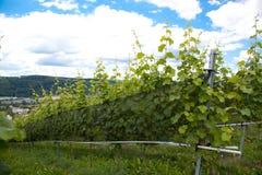 Wijngaard en wijnstokken in de vroege zomer, koninklijke wijngaard stock foto