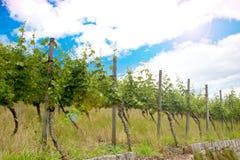 Wijngaard en wijnstokken in de vroege zomer, koninklijke wijngaard stock afbeelding