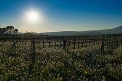 Wijngaard en witte bloemen Candytuft Iberis amara in Spanje Royalty-vrije Stock Foto