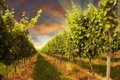 Wijngaard en zonsondergang Royalty-vrije Stock Afbeelding