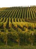 Wijngaard in franconia royalty-vrije stock afbeelding