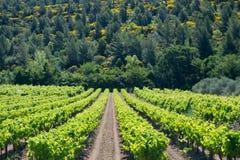 Wijngaard in Frankrijk Royalty-vrije Stock Foto