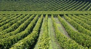 Wijngaard in Frankrijk Stock Foto's